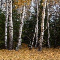 Сибирский  лес :: Геннадий Супрун