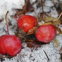 Яблочки на снегу. :: Александр Исаков