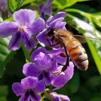 Пчела на работе :: Александр Деревяшкин