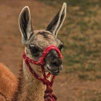 Гуанако. Зоопарк Перу ЛИМА. 01.11.2018 :: Svetlana Galvez