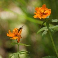 С цветка на цветок... :: Владилен Панченко