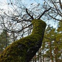 Старое дерево :: Сергей Михайлович