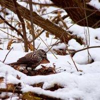 Кедровка — скрытная и достаточно тихая птицы. :: Владислав Левашов