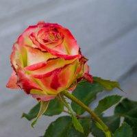 Розы :: Варвара