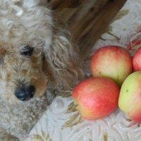 Опять яблоки :: Вячеслав Платонов