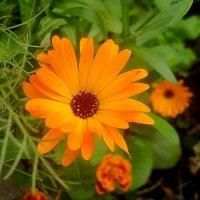 Цветы осени :: Елена Семигина