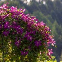 Пышное цветение :: Нина Кутина