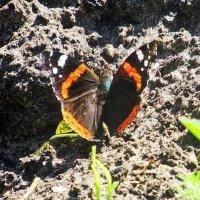 Бабочка Адмирал :: Лариса