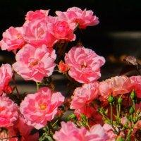 Розы :: Sabina
