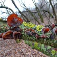 *Аурикулярия уховидная — гриб семейства Аурикуляриевых. :: vodonos241