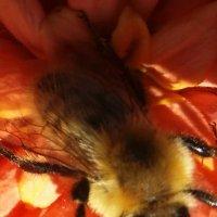 пчелка Майя :: игорь