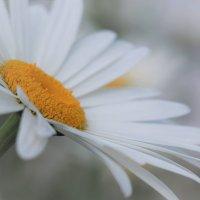 Белая ромашка с Cолнцем в серединке :: Swetlana V