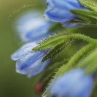 цветочный голубой :: Дарья