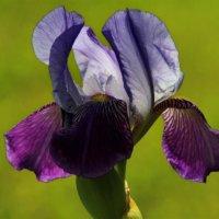 Пиршество красок всё собой заполняет - ирисы цветут.. :: Татьянка *