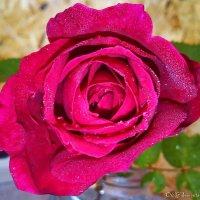 Роза чайно-гибридная Red Berlin :: Олег Семенцов