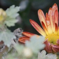 Цветы ноября :: Наталия Сарана