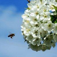Пчелка :: Владимир Сеньковец