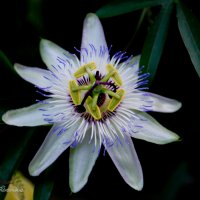 Цветок :: Сергей Гриценко