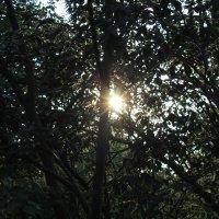 сквозь деревья :: Анжелика Курбанова
