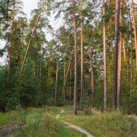 утро в сосновом лесу :: Яков Реймер