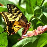 Бабочка :: Надежда Лаптева