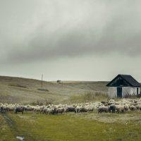 счастливые алтайские овечки :: Наталья Grass