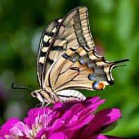 Бабочка на цинии :: Надежда Лаптева