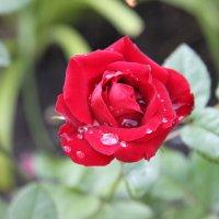 роза :: Ольга Попова