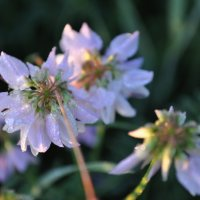 Белый полевой цветок :: Светлана Ященко