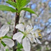 Цветущая вишня :: Павел Зюзин