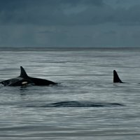 Семья касаток в Норвежском море :: Павел Лунькин