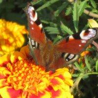 Бабочка :: Мария Мазурова
