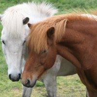 Исландские лошадки :: Геннадий Мельников