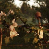 В саду цветущих яблонь.... :: Елена Kазак