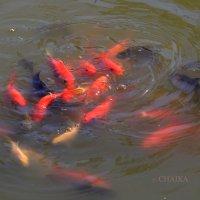 рыбки в  гневе ... :: CHAIKA '
