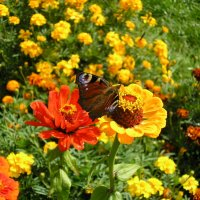Летние бабочки :: Александр Ковальов