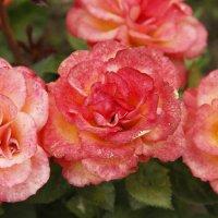 Розовые розы... :: esadesign Егерев
