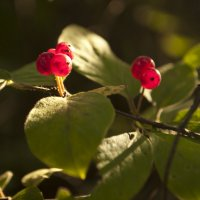 лесная ягода :: Елизавета Лукина