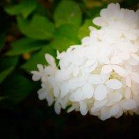 Цветет гортензия :: Ирина Рассветная