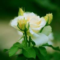 Нежные розы :: Татьяна Архарова