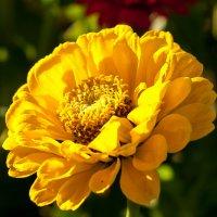 Осенний цветок :: saratin sergey
