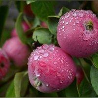 Нежные яблочки сочно-медовые :: galina tihonova
