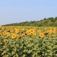 Солнечное поле :: Алевтин Поникаров