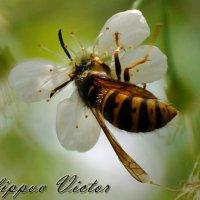нектар :: Виктор Филиппов
