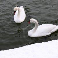 Лебеди зимуют... :: Светлана М