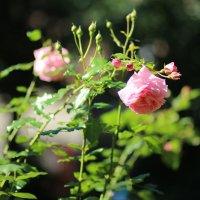 Роза :: Владимир Засорин