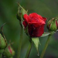 Уральская роза :: Валерий Павлов
