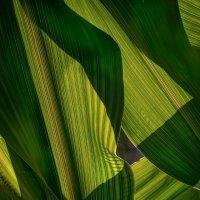 Кукуруза :: Владимир Шамота