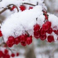 калина в снегу :: < А н г е л и н а >