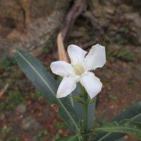 Цветок олеандра :: Natalia Harries